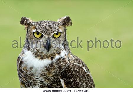 Porträt von Virginia-Uhu (Bubo Virginianus), aka Tiger Owl, weichen grünen Hintergrund - Stockfoto