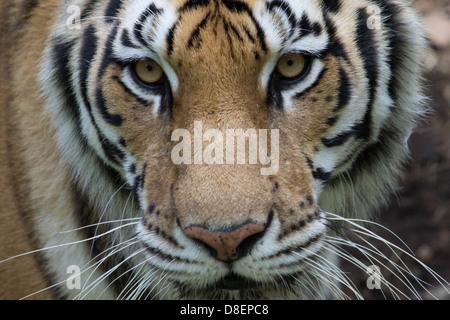 Ein Bild zeigt eine weibliche Tiger in einem Zoo California im Mai 2013 - Stockfoto
