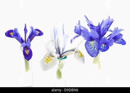 Zwerg-Iris-Blume in Vase auf weißem Hintergrund - Stockfoto