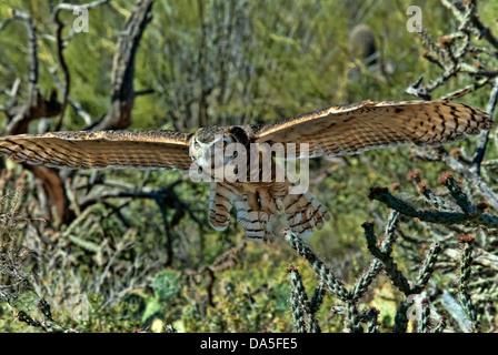 große gehörnte Eule, Bubo Virginianus, Arizona, Eule, Vogel, USA, USA, Amerika, Raptor - Stockfoto