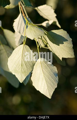 Silber-leaved Pappel, Abele (Populus Alba), Silberpappel, Unterseite der Blätter, Deutschland - Stockfoto