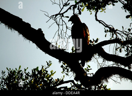 Crested Hawk-Eagle (Nisaetus Cirrhatus) in der Silhouette auf Ast, Yala-Nationalpark, Sri Lanka - Stockfoto