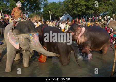 Mahut auf einer bemalten Elefanten in den Fluß Gandak für ein Bad mit anderen Elefanten Baden und Pilger hinter - Stockfoto