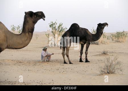 Kamele auf der Rub´ al Khali (´Empty guten in englischer Sprache) große sand-Wüste, Oman, Arabische Halbinsel - Stockfoto