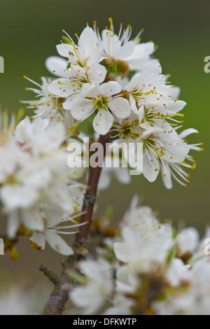 Schlehe, Prunus spinosa - Stockfoto