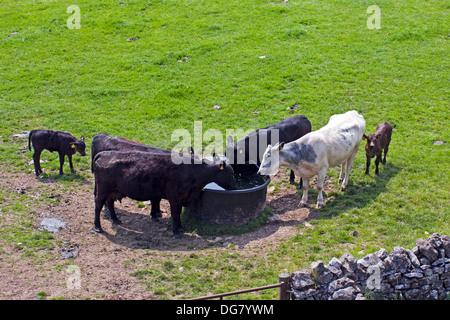 Kühe trinken um Wassertank - Stockfoto