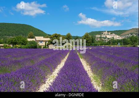 Blick über ein Lavendelfeld in Richtung Dorf, Banon, Provence, Region Provence-Alpes-Côte d ' Azur, Frankreich - Stockfoto