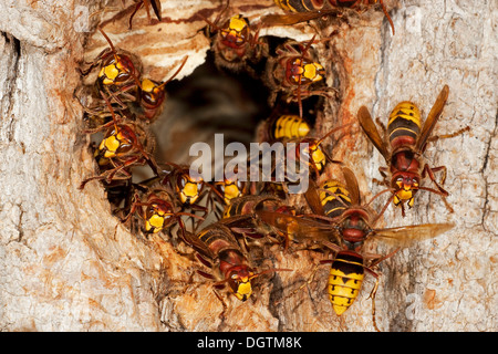 Europäische Hornissen (Vespa Crabro), Arbeiter auf den Eingang zum Nest, ehemalige Verschachtelung Loch von einem - Stockfoto