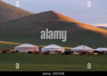 In der lösen Schafe und Ziegen werden in einer großen Herde in der Nähe der Jurte Camp oder Ger-Camp, Wiesen auf - Stockfoto