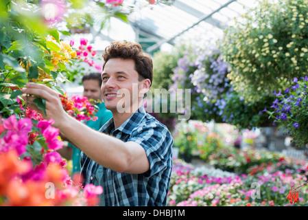 Ein Gewächshaus in einer Gärtnerei Bio Blumen zu wachsen. Zwei Männer arbeiten, deadheading Pflanzen und Blumenampeln - Stockfoto