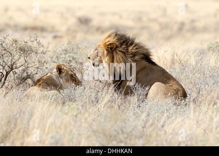 Löwe (Panthera Leo), weibliche und männliche liegen im hohen Grass, Okaukuejo, Kunene-Region, Etosha Nationalpark, - Stockfoto