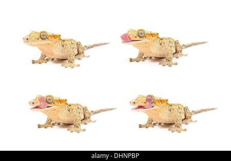 Mehreren Crested Geckos auf weißem Hintergrund. - Stockfoto