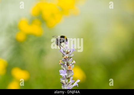 Hummel auf Lavendel Blume in Surrey Hills, England, UK - Stockfoto