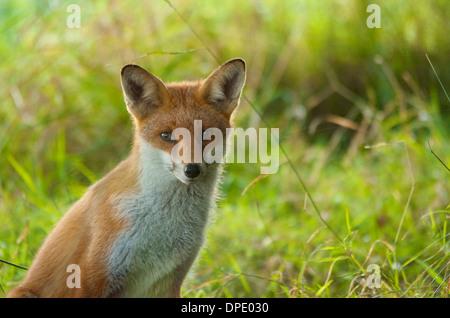 Foto von einem Rotfuchs Blick direkt in die Kamera auf Augenhöhe. - Stockfoto