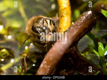 Ein Honig Biene trinken aus gesättigten Vegetation im Teich, Apis - Stockfoto