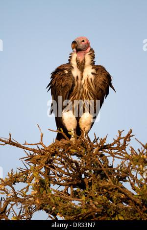 Ohrengeier-faced Vulture thront auf Baum im Mara Reserve, Kenia - Stockfoto