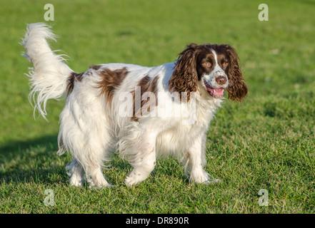 Welsh Springer Spaniel Hund stehend auf dem Rasen. - Stockfoto