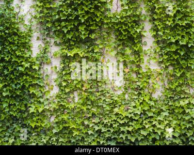 Washington USA Efeu wachsen üppige Pflanze auf Ziegelmauer - Stockfoto