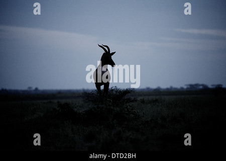Kuhantilope (Alcelaphus Buselaphus) stehend auf Hügel zu halten Ausschau halten.  Serengeti-Nationalpark Tansania. - Stockfoto