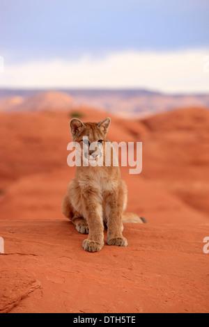 Berglöwen, Monument Valley, Utah, USA / (Felis Concolor) - Stockfoto