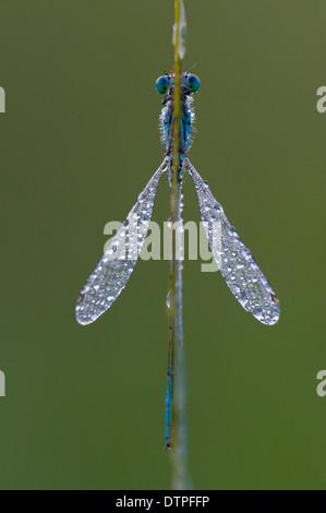 Blau-tailed Damselfly, North Rhine-Westphalia, Deutschland / (Ischnura Elegans) / Tau - Stockfoto