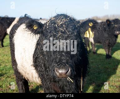 Seltene Rasse Belted Galloway Rinder Hüten an Lux Bauernhof, Kesgrave, Suffolk, England - Stockfoto
