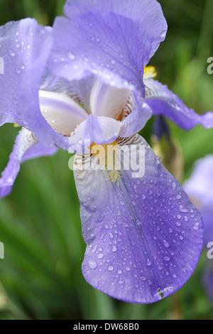Nahaufnahme von Iris Blume - Stockfoto