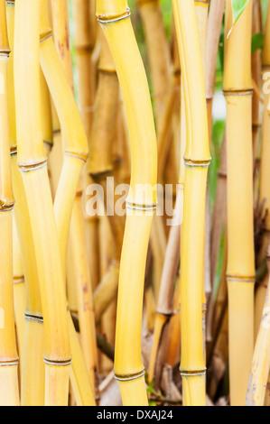 Bambus, gelb-Nut Bambus, Phyllostachys Aureosulcata, Seitenansicht zeigt Stamm Details. - Stockfoto