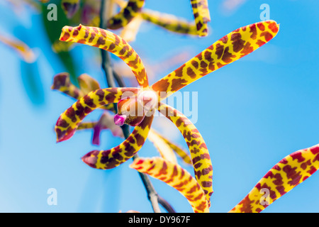 Seychellen, Mahe, Arachnis Flos-Aeris, close-up - Stockfoto