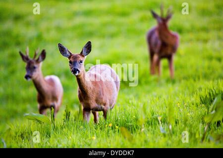 Eine Familie von Rehwild in einem Feld. - Stockfoto