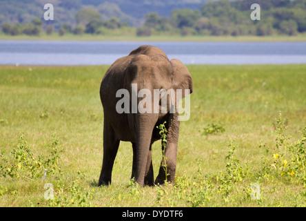 Wilde Elefanten in Yala Nationalpark in Sri Lanka 7 - Stockfoto
