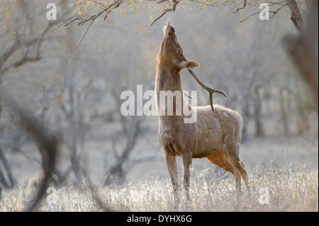 Sambar Hirsche (Rusa unicolor) Fütterung von einem Baum. - Stockfoto
