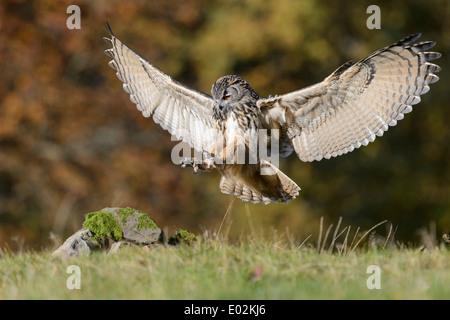 Eurasische Adler-Eule, Bubo Bubo, Deutschland - Stockfoto