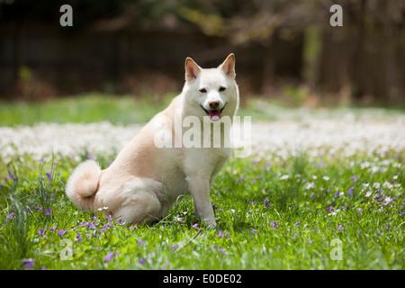 Shiba Inu sitzen auf Rasen - Stockfoto