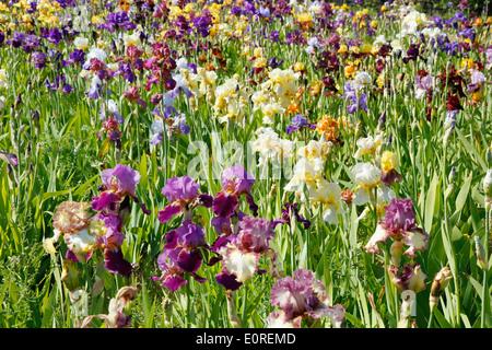 Irisgarten. El Vilosell. LLeida, Katalonien, Spanien - Stockfoto