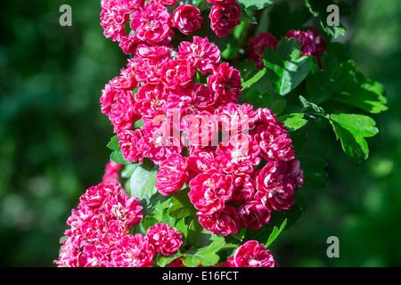 Weissdorn rote Blüte - Stockfoto