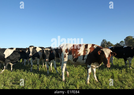 Kühe mit schwarzen und braunen Flecken auf der amerikanischen Pampa. - Stockfoto
