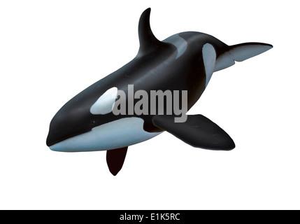 Computer-Grafik eines weiblichen Schwertwal oder Orca (Orcinus Orca) Orcas sind große räuberische Delfine, die überall - Stockfoto