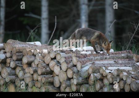 Rotfuchs (Vulpes Vulpes), feucht vom Morgentau auf einem Haufen Holz am Rande eines Waldes, Allgäu, Bayern, Deutschland - Stockfoto