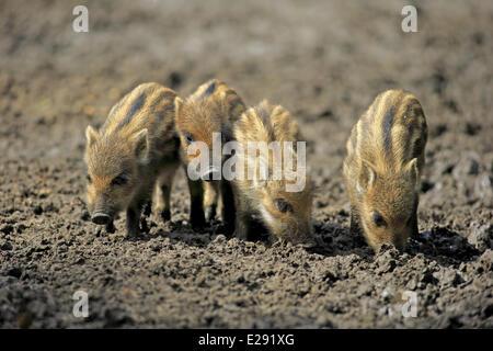 Eurasischen Wildschwein (Sus Scrofa) vier Ferkel, Wühlen im Schlamm, Mannheim, Baden-Württemberg, Deutschland, Juni - Stockfoto