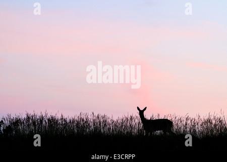 Ein Reh Reh Silhouette bei Sonnenuntergang im Sommer, Norfolk, England - Stockfoto