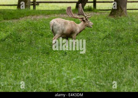 Damwild beim Weiden auf grüner Wiese Grünland im Wald im Sommer - Stockfoto