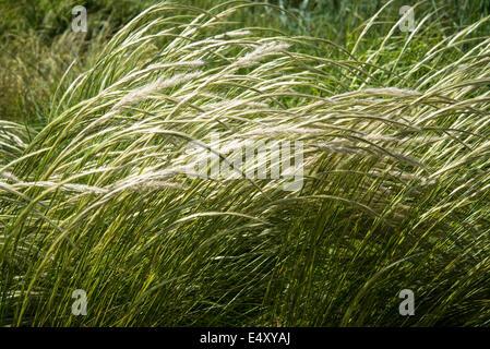 Grass Stipa Ichu, Trivialname peruanischen Federgras - Stockfoto