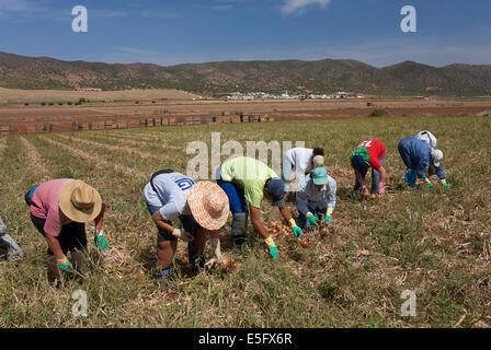 Ökologische Landwirtschaft, Zwiebeln, Navahermosa-Sierra de Yeguas, Provinz Malaga, Region von Andalusien, Spanien, - Stockfoto