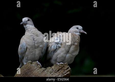 Juvenile Eurasian collared Doves (Streptopelia Decaocto) - Stockfoto
