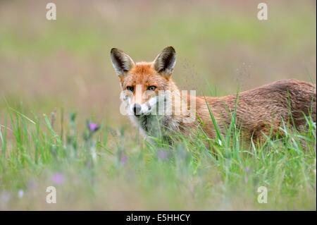 Rotfuchs (Vulpes Vulpes), UK - Stockfoto
