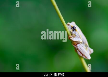 Reed Frösche (Hyperolius SP.) sind reichlich vorhanden und laut Bewohner der Bangweulu, Sambia. - Stockfoto