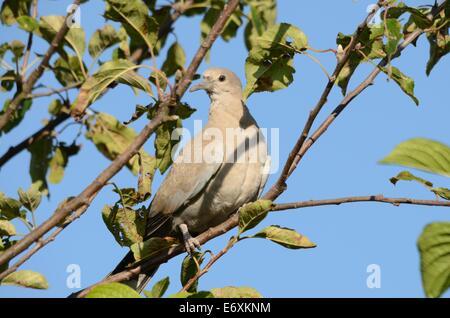 Juvenile Rotflügel Taube saß In einem Baum - Stockfoto