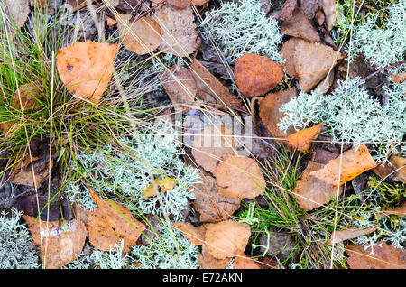 Closeup, Wald Grouncover fallen - Stockfoto