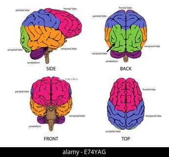 Menschliche Gehirn von allen Seiten mit Abschnitten in verschiedenen Farben und Beschriftungen - Stockfoto